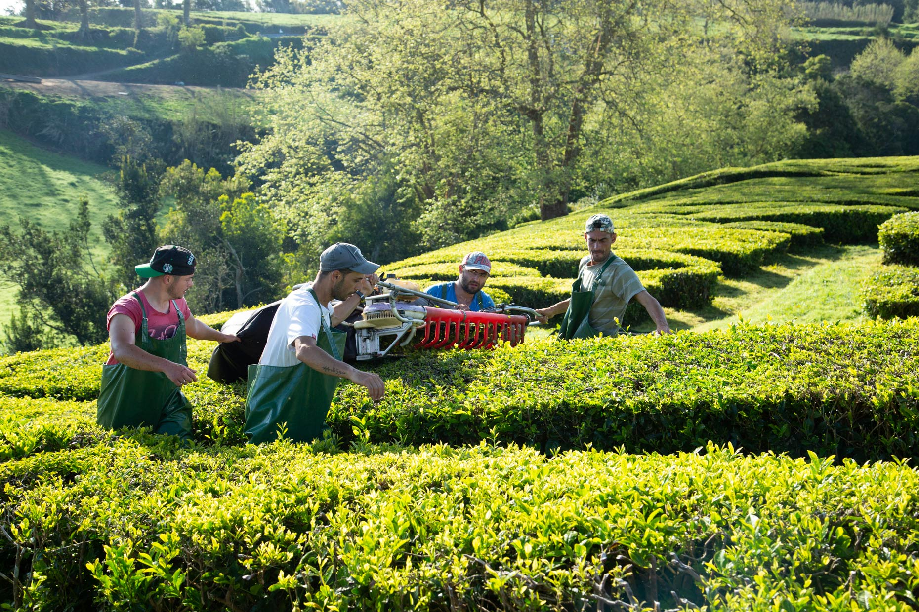 Sao-Miguel-Azores-Gorreana-Tea-Plantation-Portugal-New-York-Times-Caryn-B-Davis