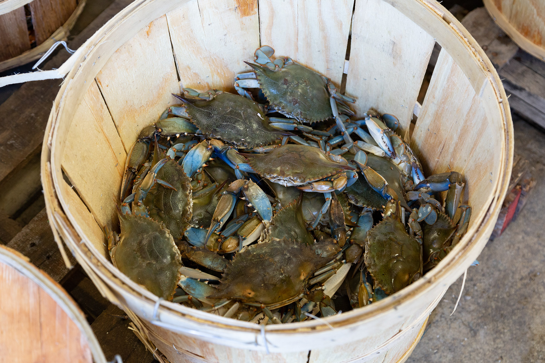 Blue-Crabs-O'Neals-Sea-Harvest-Outer-Banks-North-Carolina-Caryn-B-Davis